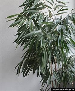 Zimmerpflanzen Sonniger Standort : ficus binnendijkii langbl ttrige feige ~ Whattoseeinmadrid.com Haus und Dekorationen