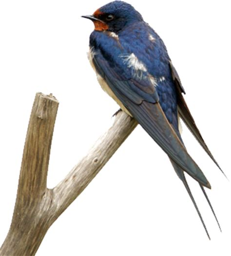 how to get rid of barn swallows barn swallows how to get rid of barn swallows bird b