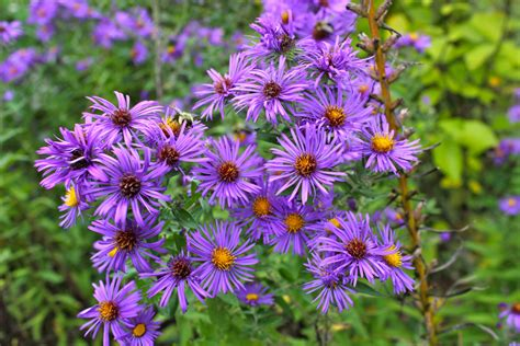 Purple Flowers  Virginia Wildflowers