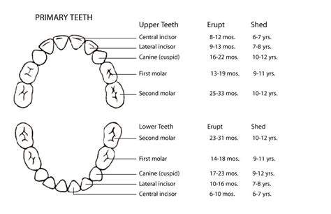Tooth Diagram Chart by 38 Printable Baby Teeth Charts Timelines ᐅ Template Lab