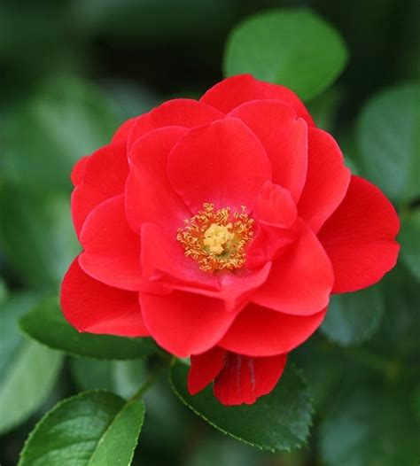 easiest roses to grow flower carpet scarlet roses 7 types of roses that are easy to