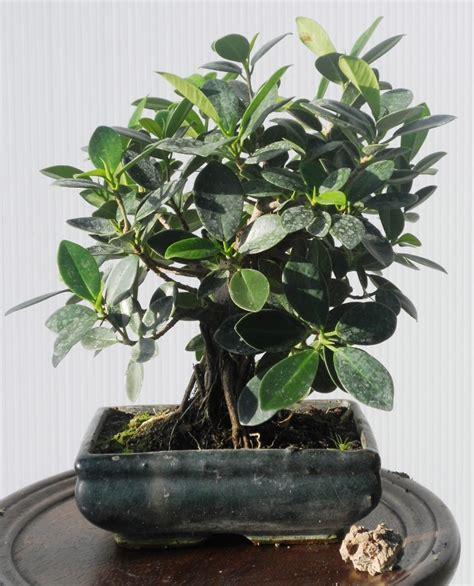 bonsai da interno bonsai da interno
