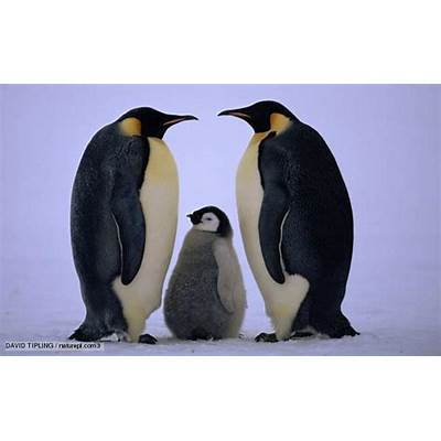 BBC Nature - Emperor penguin videos news and facts