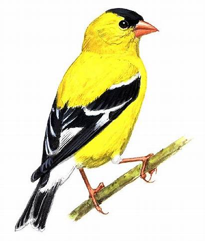 Bird State Goldfinch Washington Clipart Flying Drawing