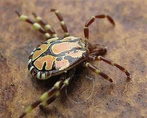 Bont Ticks  Amblyomma  Identification  Images  Ecology
