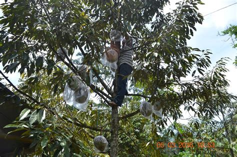 Gambar Panoramio Photo Kebun Durian Ndeso Buah Gambar di