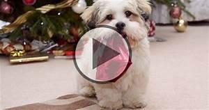 10 Funniest Shih Tzu Videos
