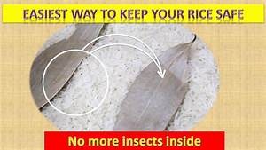 Rice Insect Problem Solved
