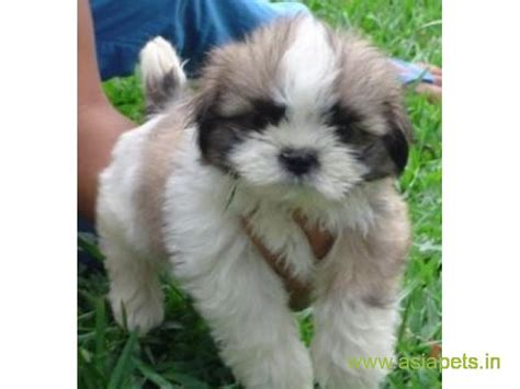 lhasa apso puppies  sale  nagpur   price asiapets