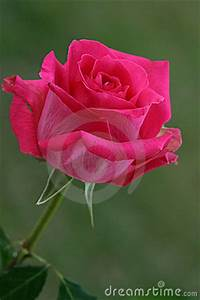 Hot Pink Rose Stock Photo - Image: 217960