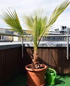 Palme Gelbe Blätter : neu gekaufte wash robusta kriegt gelbe bl tter seite 1 ~ Lizthompson.info Haus und Dekorationen