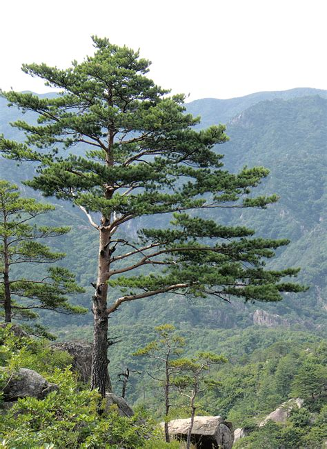 Kinds Of Christmas Trees In India by File Pinus Densiflora Kumgangsan Jpg Wikimedia Commons