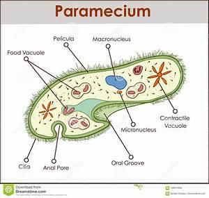 Paramecium Cartoons  Illustrations  U0026 Vector Stock Images