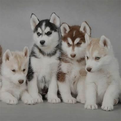 Husky Siberiano Parecen Perros Lobos Filhote Raza