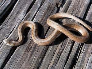 Baby Texas Brown Snake