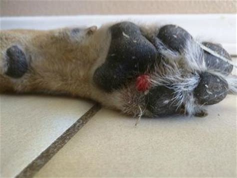 lump  paw pads organic pet digest