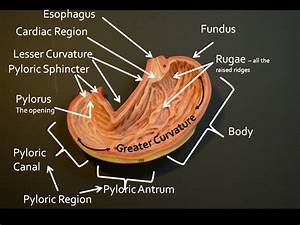 Gallery Pictures Of The Stomach Area Anatomy Labelled