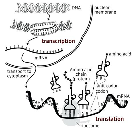 diagram dna transcription translation diagram