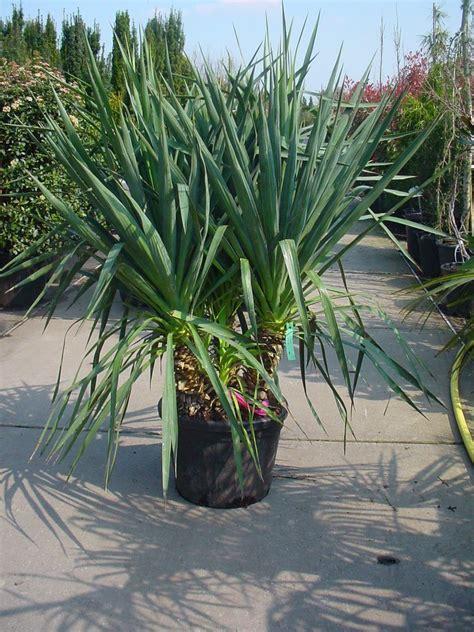 Garten Yucca Kaufen by Yucca Gloriosa Kerzen Palmlilie Spanischer Dolch