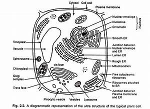 11 main organelles of cytoplasm with diagram cell With plant cell typical plant and animal cells diagram plant cell structure