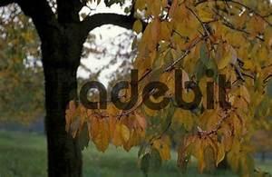 Rote Blätter Baum : herbstlaub gelb rote bl tter an kirschbaum auf ~ Michelbontemps.com Haus und Dekorationen