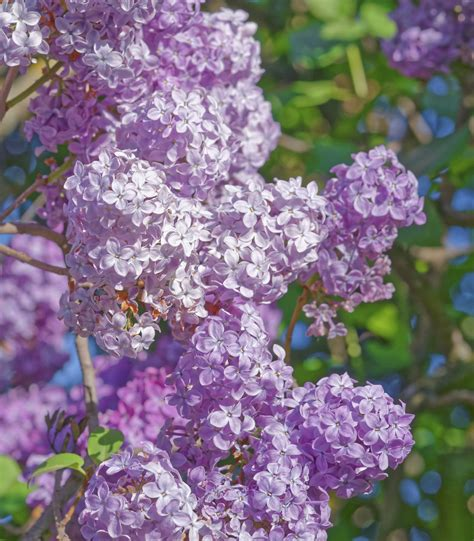 how to trim bushes in the how to prune lilac bushes blain s farm fleet blog