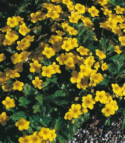 bodendecker gelb blühend bodendecker 187 dreiblatt golderdbeere 171 kaufen otto