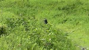 HILLSIDE BIGFOOT SIGHTING CAUGHT ON TAPE (Video) – Covered ...
