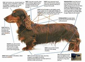 Standard Dachshund Size Chart Quot Quick Reference Guide To Breed Standard For Miniature