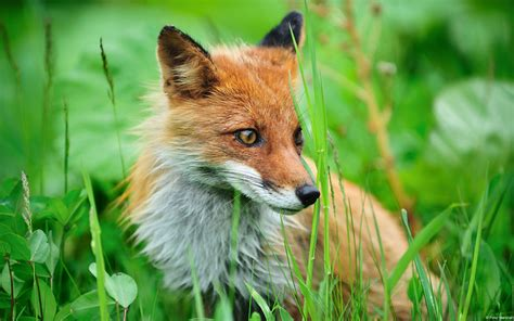 High Definition Animal Wallpapers - the fox high definition animal photography wallpaper 6