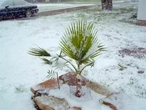 Pflanzen Für Drinnen : sabal minor palme pflanze f r drinnen drau en exoten schnellw chsig pflegeleicht ebay ~ Frokenaadalensverden.com Haus und Dekorationen
