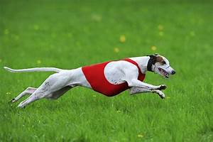 Do you need to take a pet greyhound on runs?   HowStuffWorks