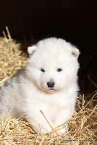 White Alaskan Malamute Puppies