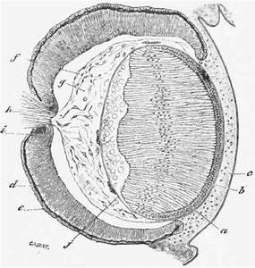 Development Of The Eye