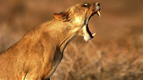 lioness symbolism whispers channels prophecies visions