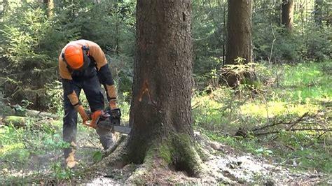 Baumfällung Baum Fällen Fällen Einer 30m Fichte