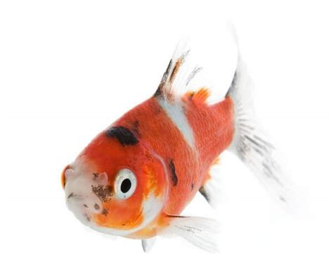 outdoor goldfish pond care maintain health living