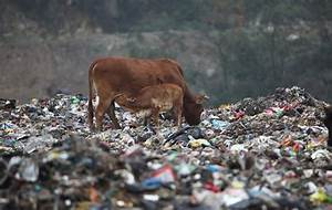 These Chinese Beef Cattle Graze In A Garbage Dump