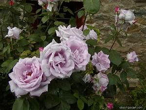 Mainzer Fastnacht Rose : photo rose mainzer fastnacht about ~ Orissabook.com Haus und Dekorationen