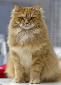 113 Best images about Siberian Forest Cat on Pinterest ...
