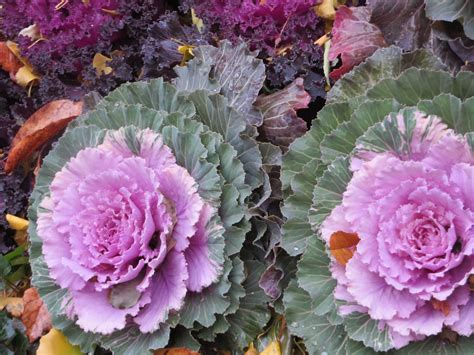 decorative cabbage and kale ornamental cabbage flowering kale park avenue walk jewish philosophy place