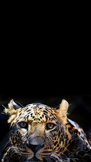Tiger Head Wallpaper / Background for phones – Apple ...