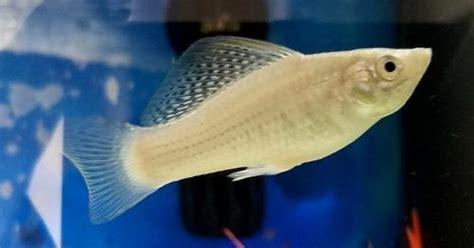 molly fish tank care balloon mollies types breeding