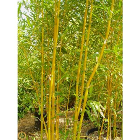 phyllostachys aurea fishpole bamboo the pot grass company