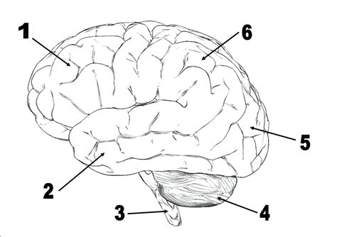 diagram brain diagram unlabeled