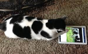 cat and cow the cow cat official quot hello my name is scotch and i