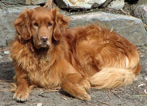Golden Retrievers Are Dogs Not Bears Natural History