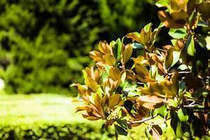Magnolie Blätter Erfroren : magnolie verliert bl tter ursachen und ma nahmen ~ Lizthompson.info Haus und Dekorationen