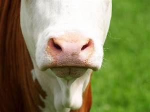 Cow Nose Close-up Stock Photo  Image Of Cows  Face  Alone