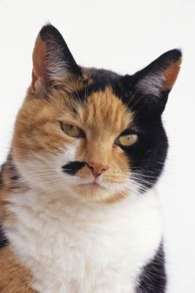 diluted calico cat pets
